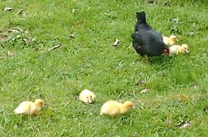 Muscovy ducklings with bantam foster mother