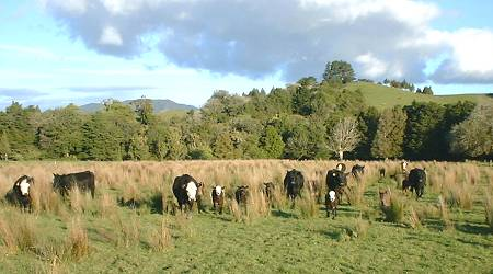 calves appearing from within the rushes