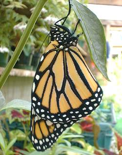 a newly hatched monarch butterfly