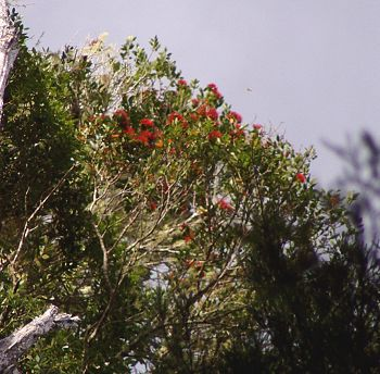 flowering Northern Rata
