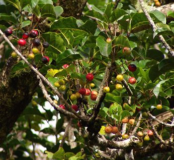 Puriri berries