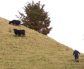 slow heifers on the hill