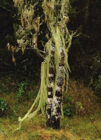 a Kahikatea swathed in lichen