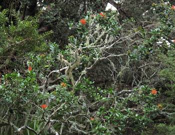 a Rata Vine in flower