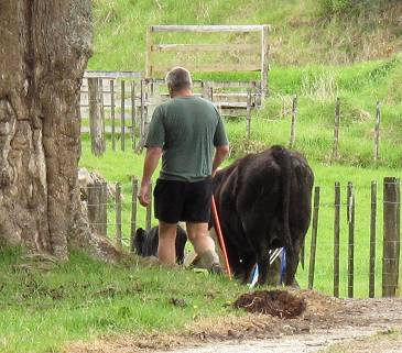Stephan walking Irene 35 and her calf to the yards