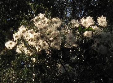 Clematis seedheads