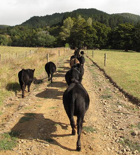 young cattle walking up the lane
