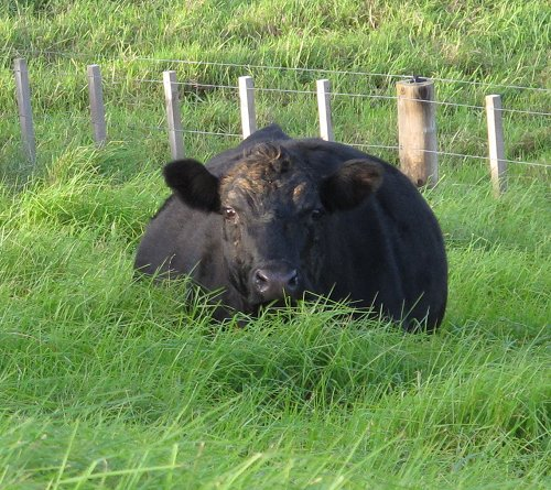 cow in long grass