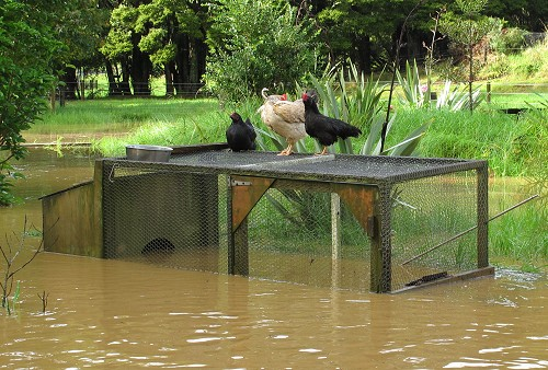 flooded chickens