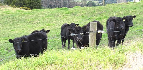 yearling heifers