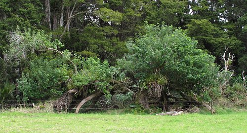 split Puriri tree