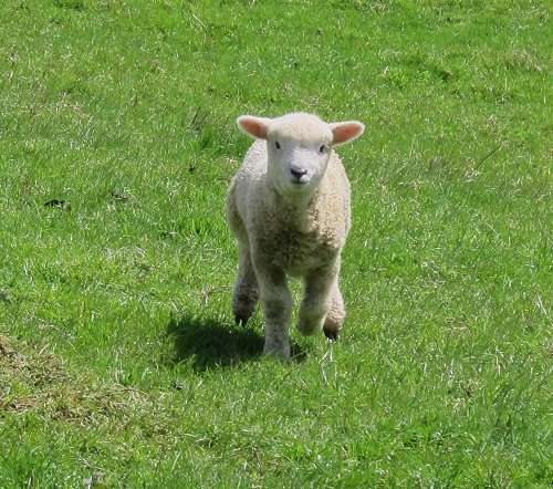 lamb running for a feed