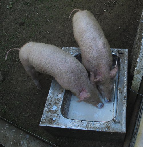 two domestic pigs
