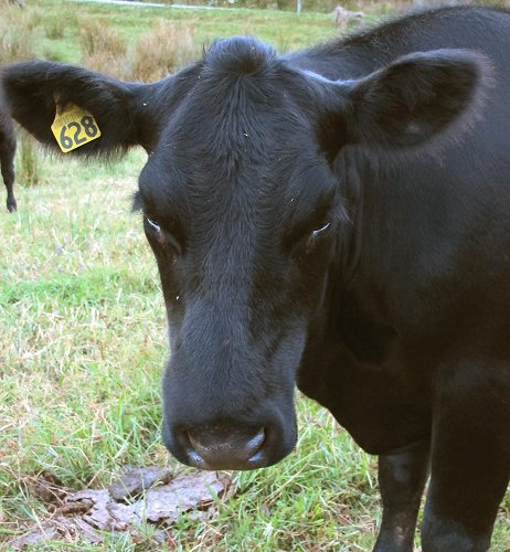 bee sting on a cow's nose