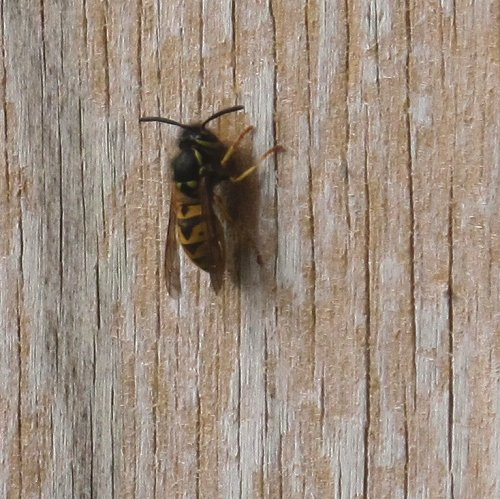 wasp collecting wood fibre