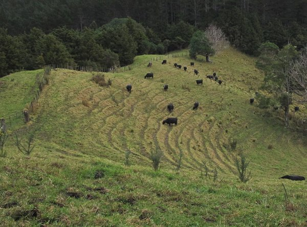 Angus cattle on winter pasture