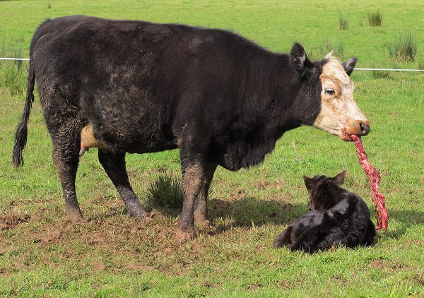 heifer mother eating afterbirth