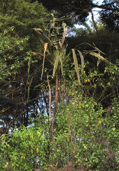 Forest Cabbage Tree