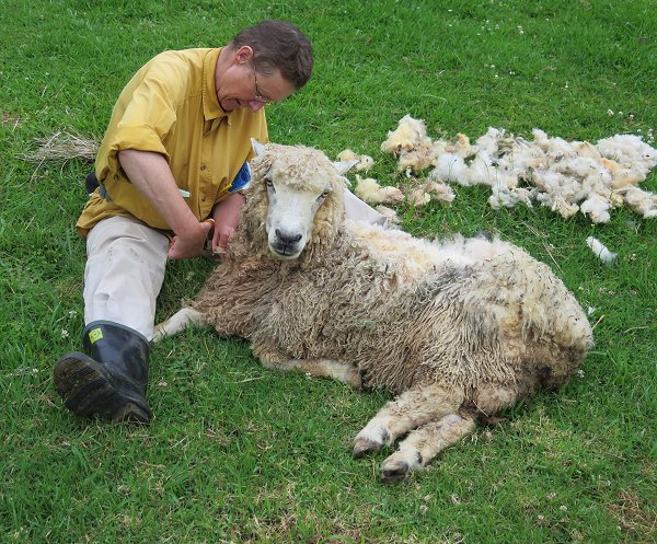 scissor-shearing a sheep