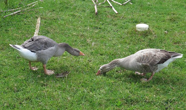 two female geese