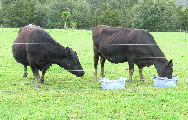 Angus and Angus-Jersey cows