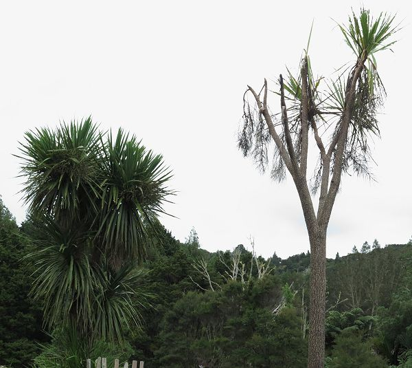dead Cabbage Tree