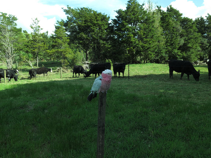 Galah and cattle