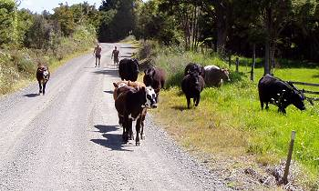 bringing cattle along the road to the yards