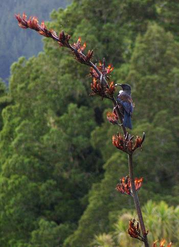 Tui on a flax flower spike