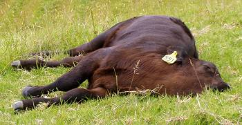 sleeping calf