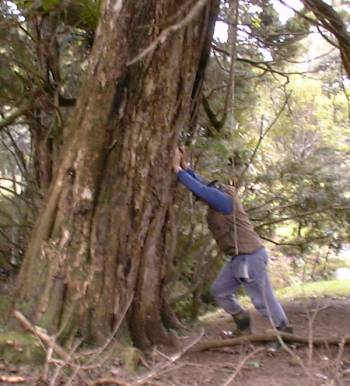 Stephan propping up a Puriri Tree