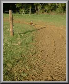 Ms Duck, trotting along behind the tractor